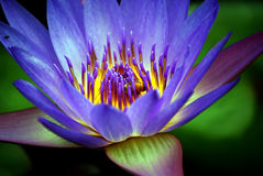 Detailed Purple Waterlily Stock Images