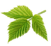 Detailed raspberry leaves close-up isolated royalty free stock images