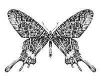 Detailed realistic sketch of a butterfly moth royalty free illustration