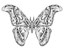 Detailed realistic sketch of a butterfly / moth. Vector illustration  on white Royalty Free Stock Image