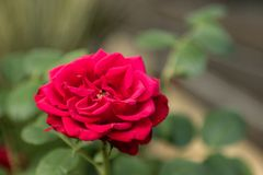 Detailed red rose on green. A closeup of a red rose with leaves in the background out of focus royalty free stock photo