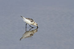 Detailed sanderling Stock Photos