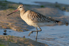 Detailed sandpiper Stock Photography