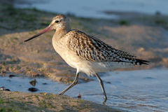 Detailed sandpiper Stock Photos
