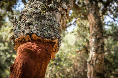 Detailed shot of cork oak tree in Sardinia Stock Photography