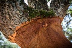 Detailed shot of cork oak tree in Sardinia Stock Image