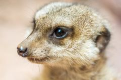 Detailed shot of the face of a sweet meerkat stock images
