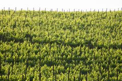 A detailed full view of vineyard vines. A detailed shot full of young vineyards in Santa Ynez, California during springtime Royalty Free Stock Photography