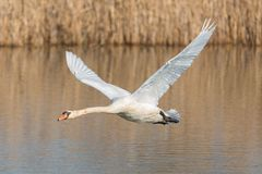 Detailed side view mute swan cygnus olor in low flight over water royalty free stock image