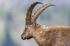 Side view portrait male natural capricorn ibex. Detailed side view portrait male natural capricorn ibex Royalty Free Stock Images