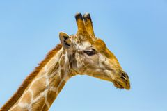 Detailed side view portrait of male giraffe head, blue sky stock image