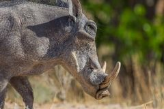 Detailed side view portrait warthog phacochoerus aethiopicus head stock photos
