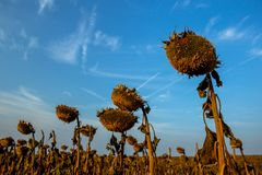 Detailed Silhouettes of Dried Ripe Sunflower on a Field stock images