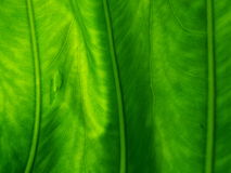 Detailed Structure of a Green Leaf Stock Photos