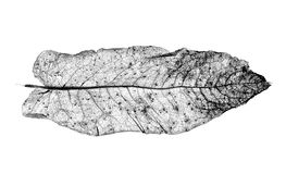 Detailed Study Of Dock Leaf Royalty Free Stock Photos