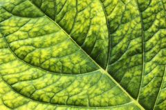 Detailed surface of hortensia leaf Royalty Free Stock Photos