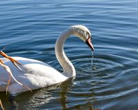 Detailed swan royalty free stock photos