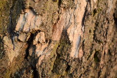Detailed Texture of Bark Royalty Free Stock Images