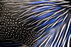 Detailed texture of white and blue pheasant feathers Royalty Free Stock Photo