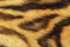 Detailed tiger fur. Animal pelt texture for your design Stock Photo