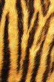 Detailed tiger stripes fur. Real animal pelt Royalty Free Stock Images