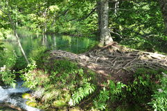 Detailed Tree Roots at Peaceful Green Lakes Stock Photo