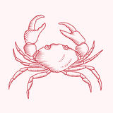 Detailed vector drawing of a sea crab. Detailed vector drawing of a red sea crab illustration Stock Photography