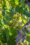 Detailed view of agricultural fields with vineyards, typically Mediterranean, in Portugal.  stock photo