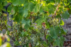 Detailed view of agricultural fields with vineyards, typically Mediterranean, in Portugal.  royalty free stock photos