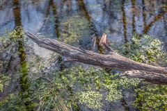 Detailed view of a broken branch and trees reflection on the water river with algae and aquatic vegetation stock photos