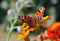 Detailed view of a butterfly on a blooming plants Stock Photography