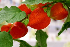 Detailed view of Chinese Lantern Plant. Detailed view of colorful Chinese Lantern Plant decorative, papery orange calyxes Royalty Free Stock Image