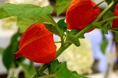 Detailed view of Chinese Lantern Plant. Detailed view of colorful Chinese Lantern Plant decorative, papery orange calyxes Stock Photography