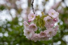 Detailed view of delicate light pink cherry blossom, photographed in Regent`s Park, London. Close up of delicate light pink cherry blossom and foliage stock photo