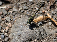 Detailed view of a dragonfly Royalty Free Stock Images