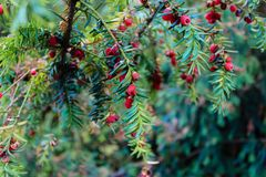 Detailed view of European Yew or Taxus Baccata stock photos