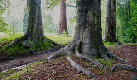 Detailed view of exposed tree roots of very old trees royalty free stock image