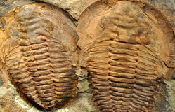 Detailed view of fossilized trilobites Stock Photography
