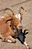 Detailed view of a goat Stock Photo