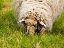 Detailed view of grazing sheep Royalty Free Stock Images