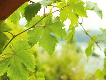 Detailed view of the hanging vine leaves. In the background landscape with a lake royalty free stock image