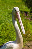 Detailed view of the head pelican Royalty Free Stock Photo