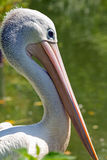 Detailed view of the head pelican Royalty Free Stock Images