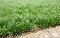 Detailed view of horchata plantation Stock Images