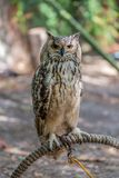 Detailed view of Horned owl, Indian eagle-owl, Bubo bengalensis stock image