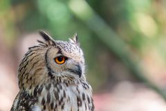 Detailed view of Horned owl, Indian eagle-owl, Bubo bengalensis.  stock photography