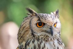 Detailed view of Horned owl, Indian eagle-owl, Bubo bengalensis.  royalty free stock photos