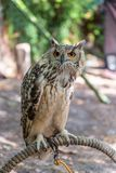 Detailed view of Horned owl, Indian eagle-owl, Bubo bengalensis.  royalty free stock images