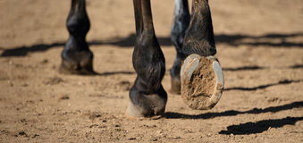 Detailed view of horse hoof foot outside stables. View from behind stock image