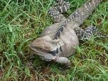 Detailed view of a large lizard stock photos